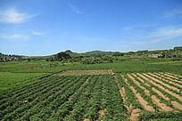 蓝天下绿色的田地庄稼