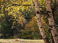 透过阳光的白桦树