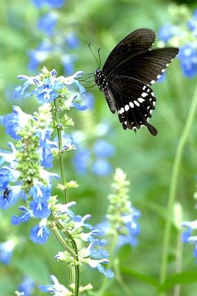 蓝色花朵 黑凤蝶