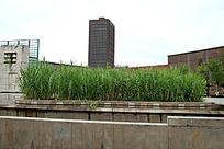 休闲广场中心的芦苇植物图片