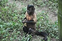 剥花生的黑帽悬猴