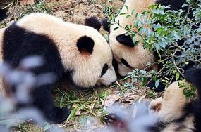 两只大熊猫头碰头