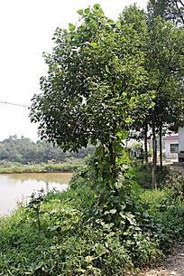 乡下池塘边农家小院前的樟树