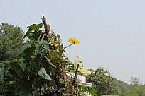 乡下农家小院前的黄色丝瓜花