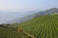 茶叶梯田图片