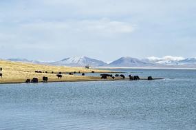 尕海湖的雪山和牦牛