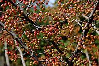 结满了果实的小树枝