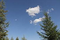 蓝天白云下的松树