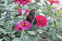 玫红色花丛花朵上停留的黑色蝴蝶
