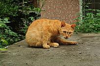 弯着身子的黄猫