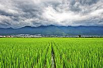 大理山下的稻田