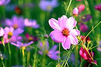 美丽绽放的波斯菊