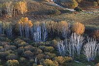 秋天的白桦树