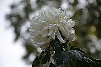 白色菊花仰拍
