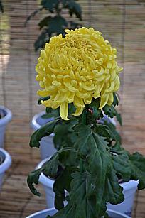 饱满的黄色菊花