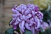 饱满的紫色菊花