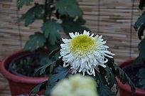 不同品种的白色菊花
