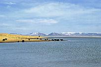 尕海湖边的雪山和牦牛