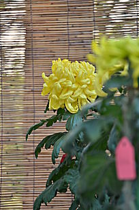 黄色漂亮的菊花特写