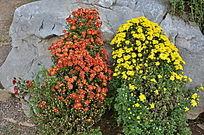 两簇菊花俯拍