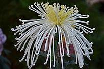 漂亮的白色菊花特写