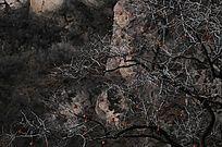 太行山冬天的柿子树