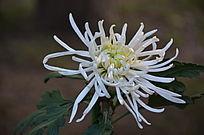 一朵白色的菊花特写