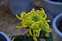 一朵黄色的菊花俯拍
