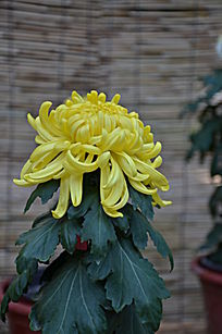 一朵黄色的菊花特写