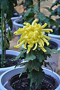 一株黄色的菊花