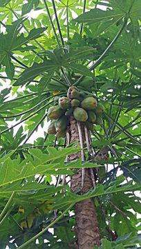 鼓浪屿上的热带水果