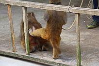 猴子踢屁股