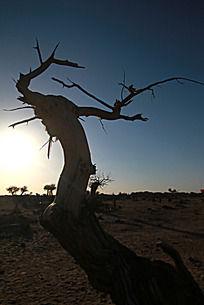 黄昏中的额济纳枯树剪影