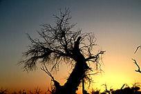 黄昏中的胡杨树剪影