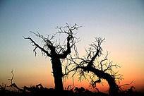 黄昏中的树