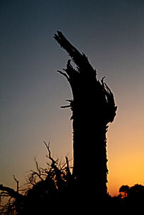 美丽的额济纳枯树