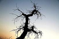美丽的额济纳枯树剪影