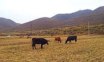 吃草的牛儿