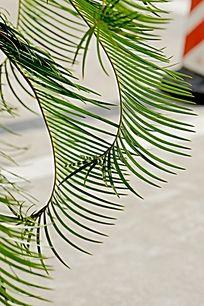 绿色植物 热带棕榈树叶