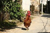 农村家养无公害的雄赳赳气昂昂大公鸡 绿色食品