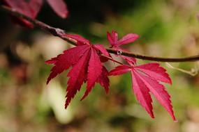 几片红色的枫叶