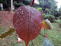 沾满水珠的红色叶子