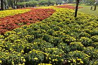 红黄相间的菊花地