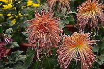 橘红色线形花瓣菊花绽放