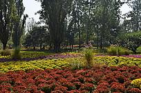 菊花园美景