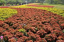 漂亮的菊花园