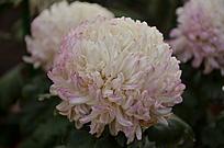 一朵粉嫩粉嫩的白色菊花球