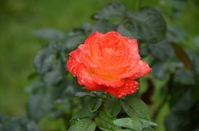 一朵橘红色的带水珠的月季花特写