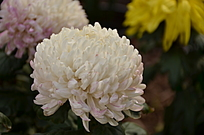 一朵洁白的菊花团