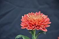 一朵漂亮的红色小菊花特写 黑色背景